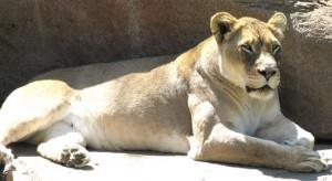 lioness_web