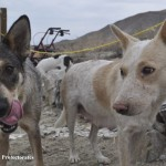 Queensland Heeler dogs struggle to survive at the Dog Killing Fields in Sky Valley.