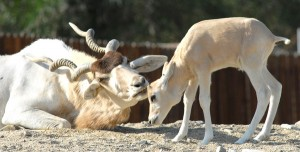 One of the new addax calves and its mother enjoy a moment at The Living Desert.